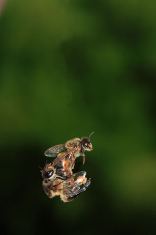 male honey bee | Corne... Queen Honey Bee Mating